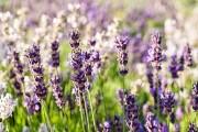 Фото 13 Лаванда (52 фото): посадка и уход за своенравным и красивым растением