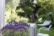 Фото 14 Лаванда (52 фото): посадка и уход за своенравным и красивым растением