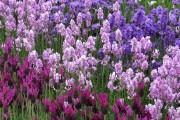 Фото 17 Лаванда (52 фото): посадка и уход за своенравным и красивым растением