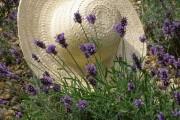 Фото 19 Лаванда (52 фото): посадка и уход за своенравным и красивым растением