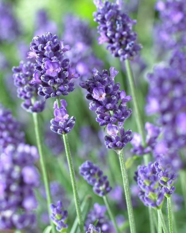 Древние римляне извлекали из лаванды эфирные масла и пользовались ими как парфюмом