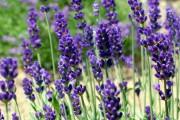 Фото 24 Лаванда (52 фото): посадка и уход за своенравным и красивым растением