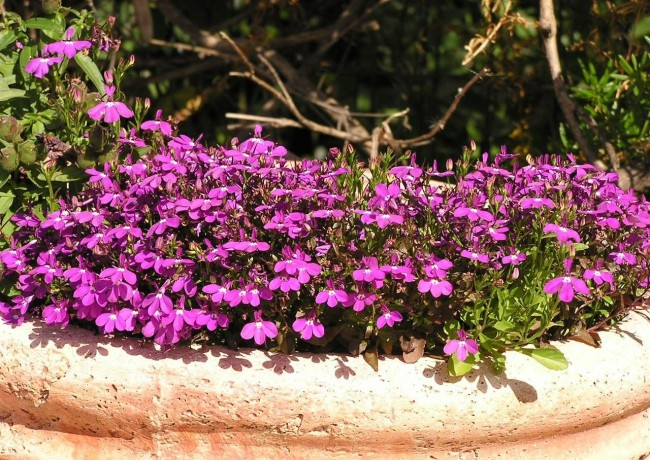 Лобелия с яркими фиолетовыми цветами