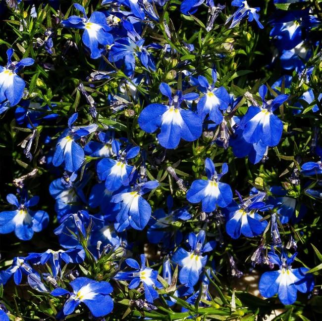 Цветы лобелии ярко-синего цвета с белыми пятнами у основания