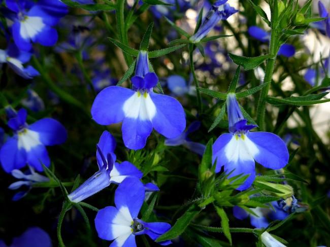 Голубые цветы лобелии с белым пятном на основании лепестка