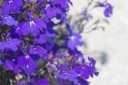 Фото 14 Лобелия (55 фото): яркое обильное цветение на весь теплый период
