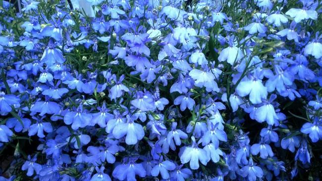 Лобелия эринус с голубыми цветами