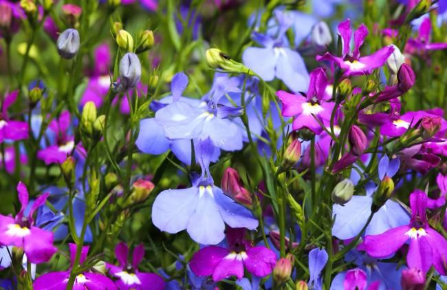 Лобелия с цветами нежно-голубого и фиолетового цвета