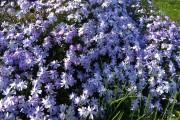Фото 15 Лобелия (55 фото): яркое обильное цветение на весь теплый период