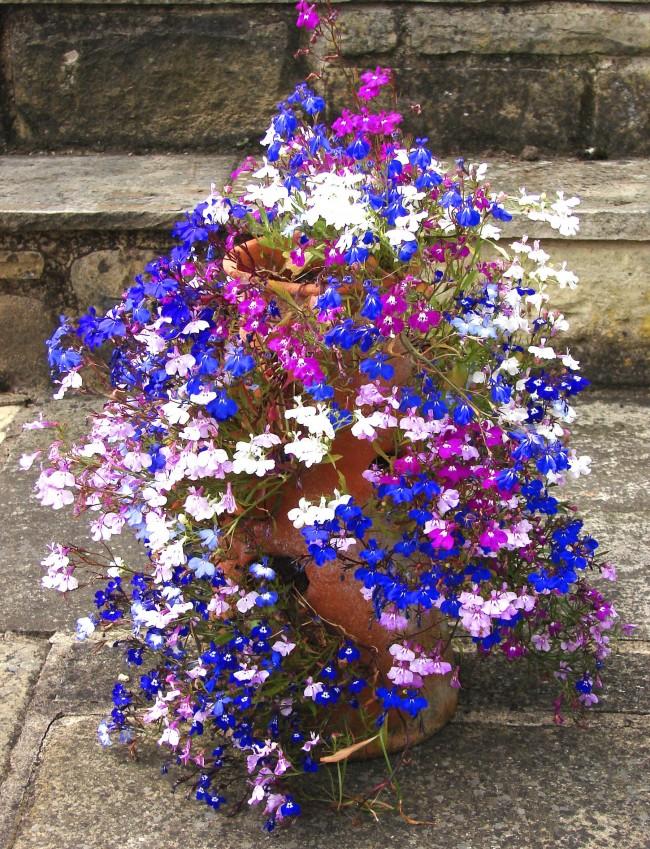 Разноцветные цветы лобелии растут из небольшого сосуда