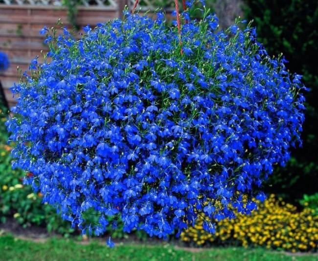 Яркий темно-голубой шар из цветов лобелии