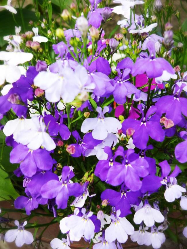 Прекрасное сочетание белого и фиолетового цветов