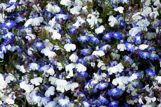 Бело-голубые цветы лобелии