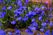 Фото 6 Лобелия (55 фото): яркое обильное цветение на весь теплый период
