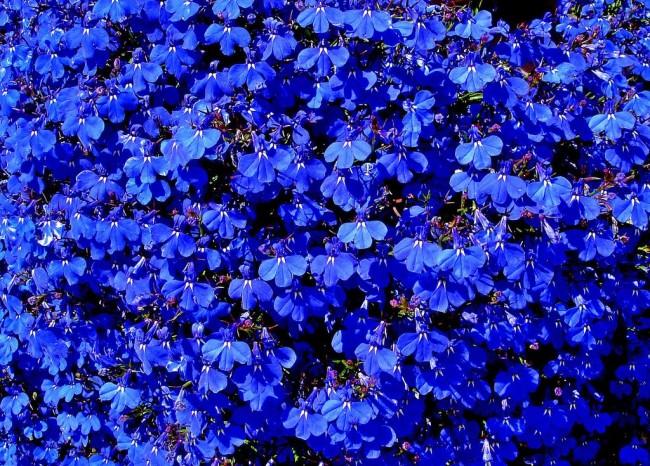 Цветочный ковер из лобелии с темно-голубыми цветами
