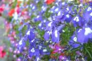 Фото 7 Лобелия (55 фото): яркое обильное цветение на весь теплый период