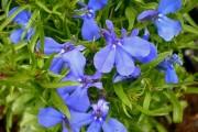 Фото 2 Лобелия (55 фото): яркое обильное цветение на весь теплый период
