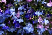 Фото 8 Лобелия (55 фото): яркое обильное цветение на весь теплый период