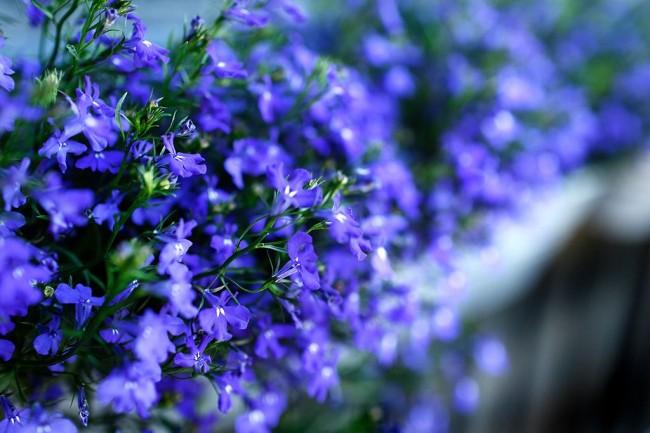 Сине-голубые цветы лобелии
