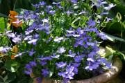 Фото 9 Лобелия (55 фото): яркое обильное цветение на весь теплый период