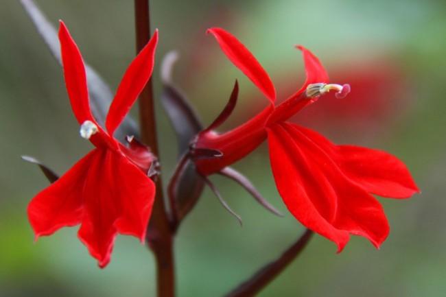 Лобелия с ярко-красными цветами