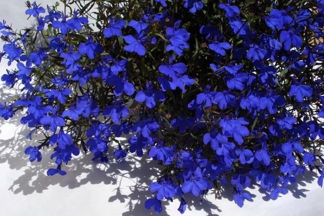 Яркие темно-голубые цветы лобелии