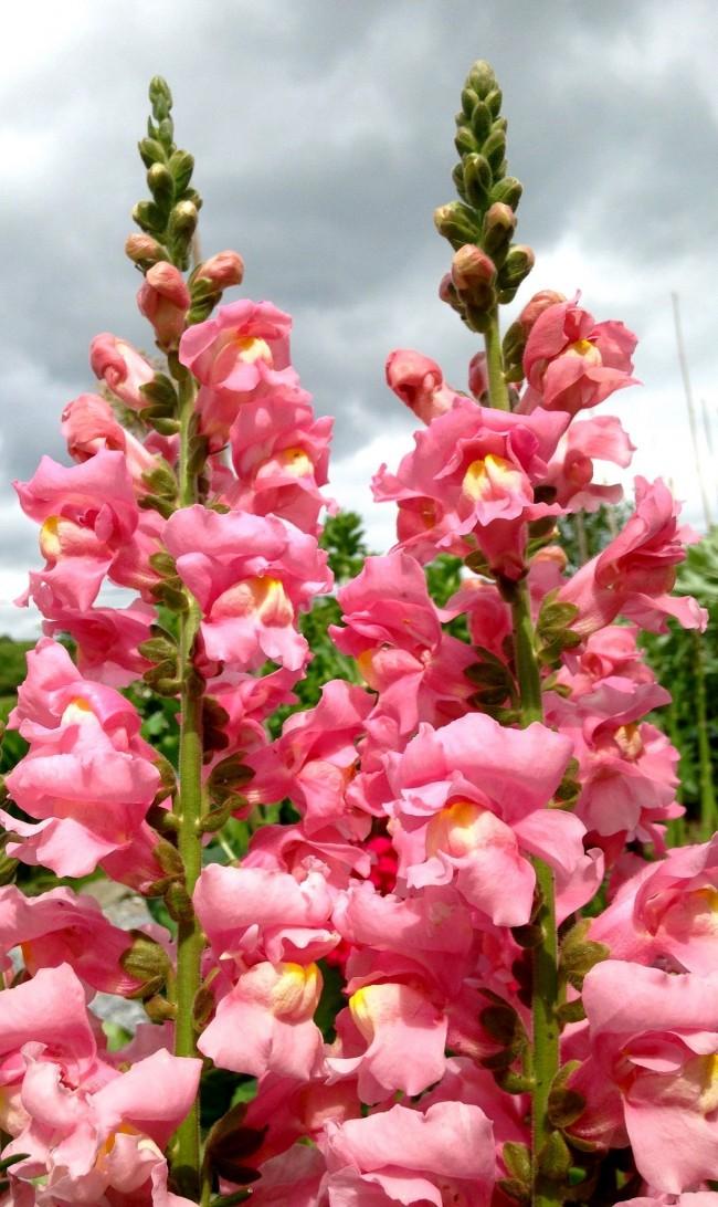 Умеренный полив и своевременная обработка от вредителей обеспечат роскошное цветение антирринумов