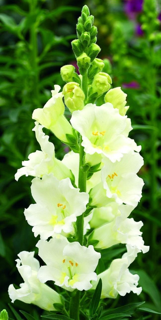 Необыкновенно-красивый зеленовато-белый антирринум