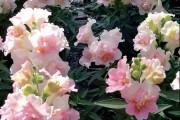 Фото 17 Львиный зев (50 фото): способы размножения, посадка и уход за растением
