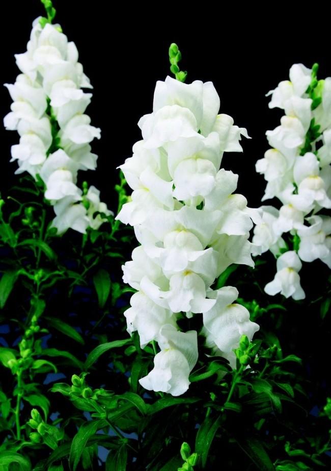 Великолепный белый антирринум