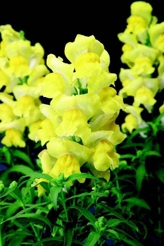 Нежный антирринум лимонного цвета