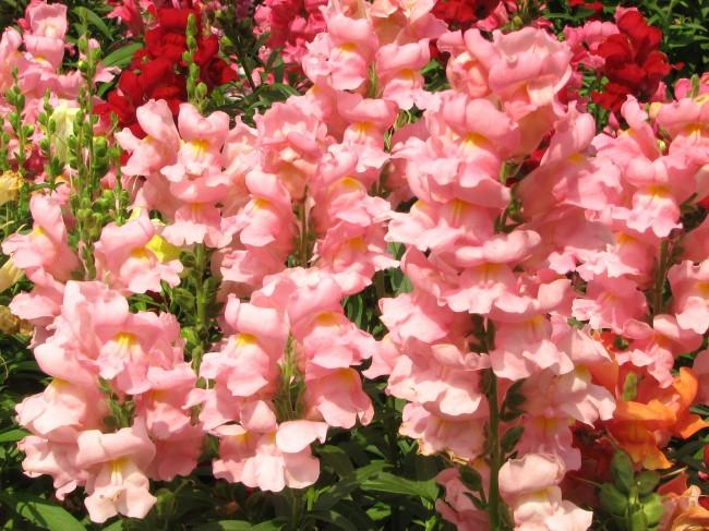 Красивые, ухоженные цветы антирринума