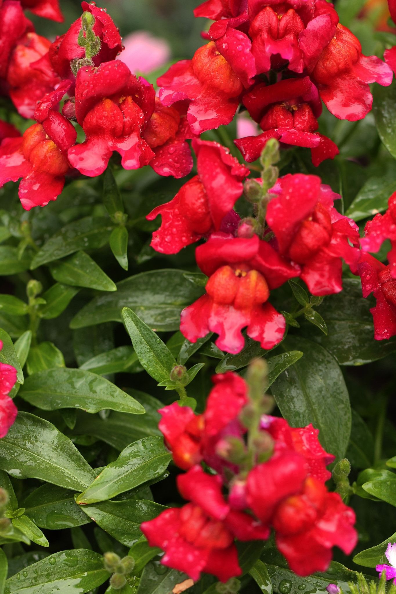 Цветок антирринум фото посадка и уход