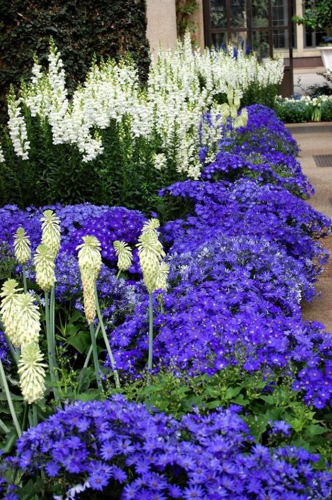 Очень красивое сочетание белых Львиных зевов с яркими синими цветами на клумбе