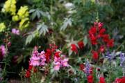 Фото 25 Львиный зев (50 фото): способы размножения, посадка и уход за растением