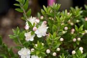 Фото 4 Цветок мирт (53 фото) выращивание и уход в домашних условиях