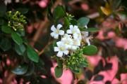 Фото 7 Цветок мирт (53 фото) выращивание и уход в домашних условиях