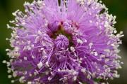 Фото 5 Цветок мирт (53 фото) выращивание и уход в домашних условиях