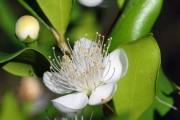 Фото 17 Цветок мирт (53 фото) выращивание и уход в домашних условиях