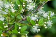 Фото 19 Цветок мирт (53 фото) выращивание и уход в домашних условиях