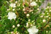 Фото 21 Цветок мирт (53 фото) выращивание и уход в домашних условиях
