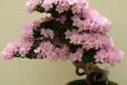 Фото 22 Цветок мирт (53 фото) выращивание и уход в домашних условиях