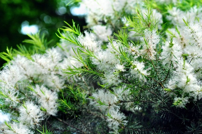 Мирт - очень красивое и ароматное растение