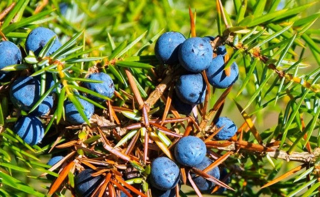 Дерево мирт – вечнозеленое растение с богатой историей