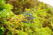 Фото 3 Цветок мирт (53 фото) выращивание и уход в домашних условиях