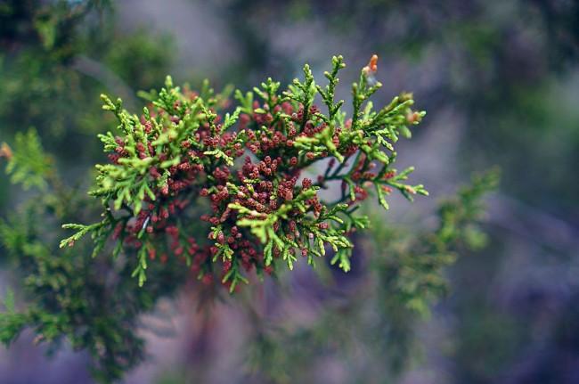 Специя можжевельник (в сухом и свежем виде) – важная пряность во многих европейских кухнях, особенно альпийских, где он растет в диком виде