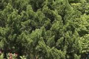 Фото 8 Хвойный красавец в саду — можжевельник (60 фото): посадка и уход за растением