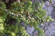 Фото 13 Хвойный красавец в саду — можжевельник (60 фото): посадка и уход за растением