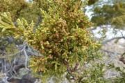 Фото 20 Хвойный красавец в саду — можжевельник (60 фото): посадка и уход за растением