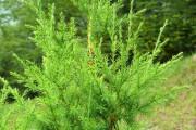 Фото 27 Хвойный красавец в саду — можжевельник (60 фото): посадка и уход за растением
